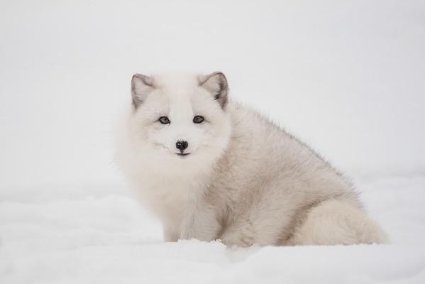 Arctic Fox-2008-Captive