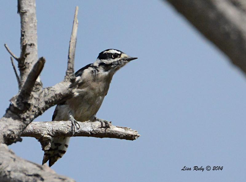 Downy Woodpecker - 09/28/2014 - Dairy Mart Ponds