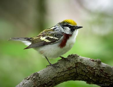Birds of Magee Marsh