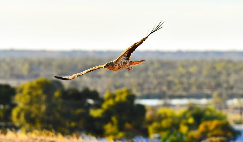 Pet whistling kites