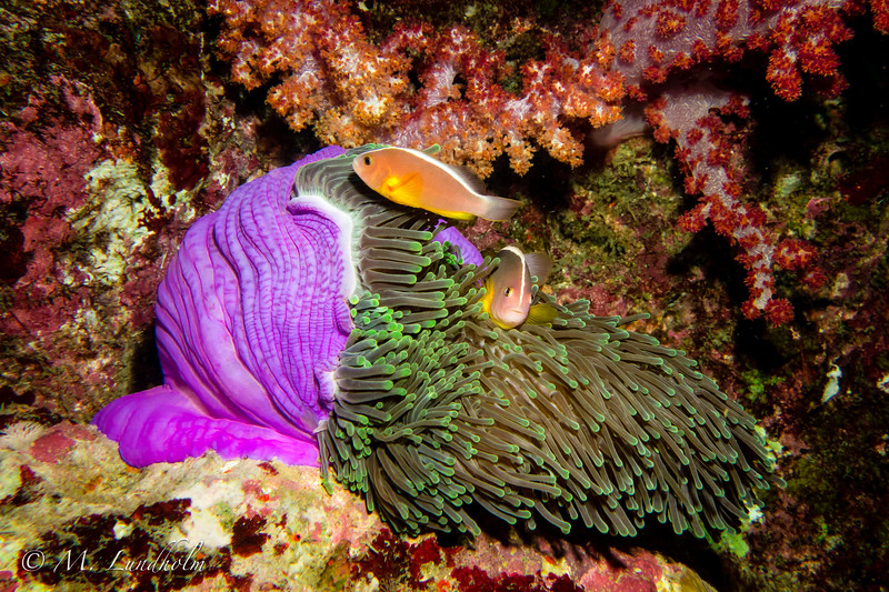 Eastern Skunk Anemonefish
