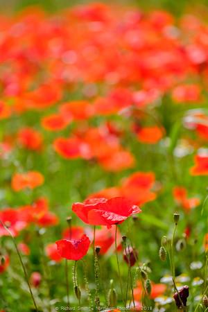 Poppy Fields of Tuscany