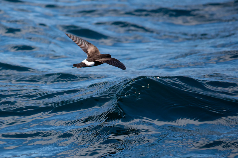 White-vented Storm-petrel