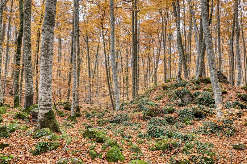 Autumn Between Trees (Fagedà d'en Jordà, Catalonia)