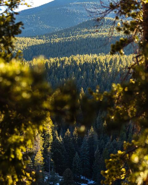 Maxwell Falls Golden Evergreens-3.jpg
