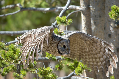Owls - Boreal, Great Gray, Northern Hawk Owl, Eastern Screech Owl - Gray Morph, Snowy Owl, Short Eared Owl, Long Eared Owl