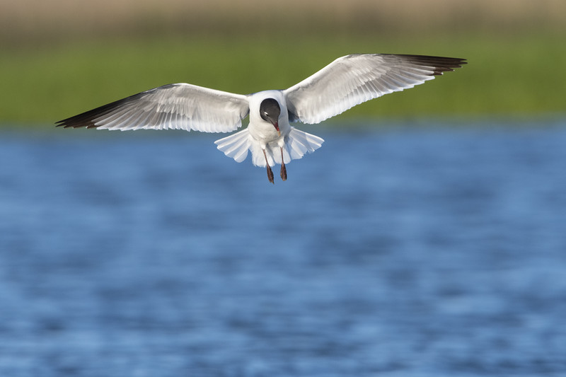 Laughing Gull in Flight Three - Copy.jpg