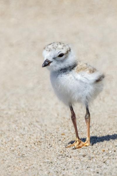 Maine Audubon - Avian Images