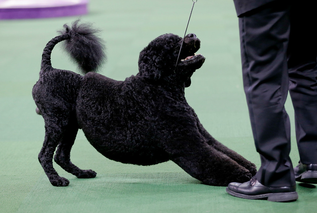 . Matisse, a Portuguese water dog, and handler Michael Scott, compete with the working group at the Westminster Kennel Club dog show Tuesday, Feb. 17, 2015, in New York. (AP Photo/Frank Franklin II)