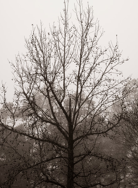 2021-01-24 Tree in Fog_DSF0214.jpg