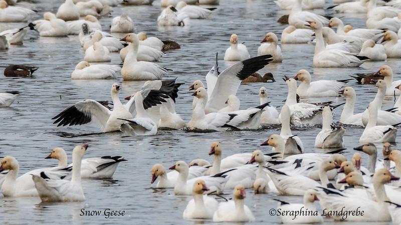 _DSC8976Snow & Ross's Geese.jpg