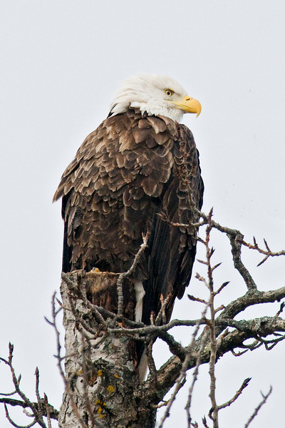 Eagle - Bald - adult - Grand Marais, MN