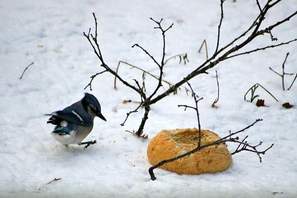 Blue Jays love Bread Bowls