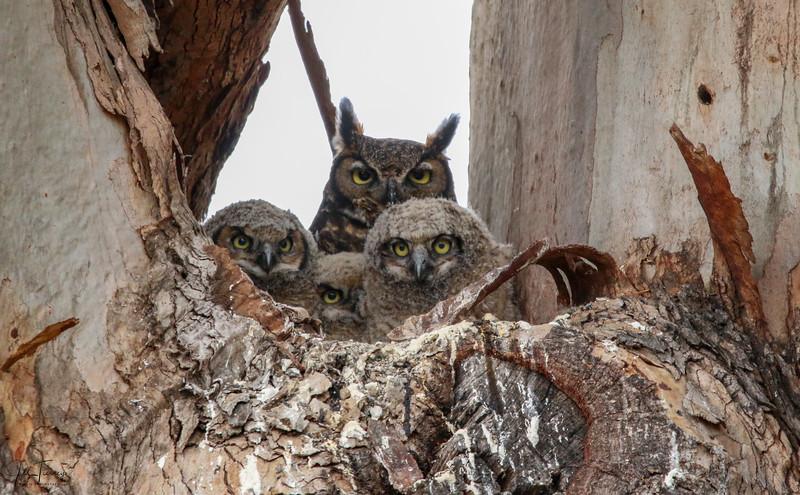 Family portrait Great horned owl