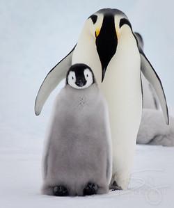 Bonding. Snow Hill Island, Antarctica