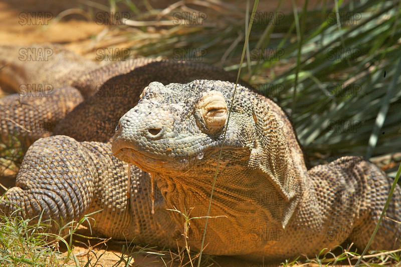 A closeup of a Komodo Dragon's (Varanus komodoensis).  The lizard is salivating profusely, at the St. Augustine Alligator Farm Zoological Park.