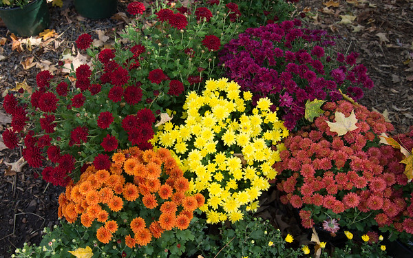 09/30/19 Wesley Bunnell | StaffrrColorful Mums for sale at Karabin Farms in Southington on Monday afternoon.