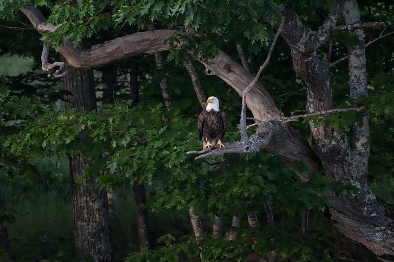 #991 Bald Eagle