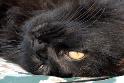 Dobosh Cats