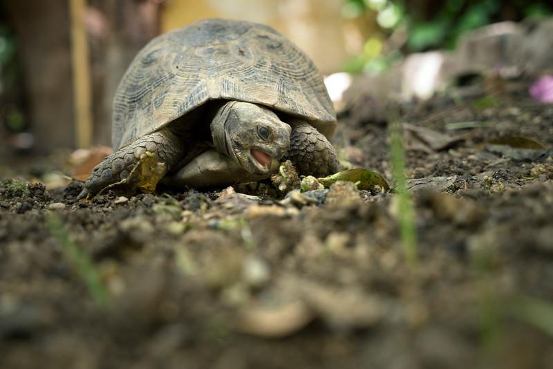 Schildpad knabbelt aan blaadje 06030.jpg