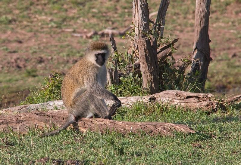 Black-faced Vervet Monkey, Naboisho Conservancy