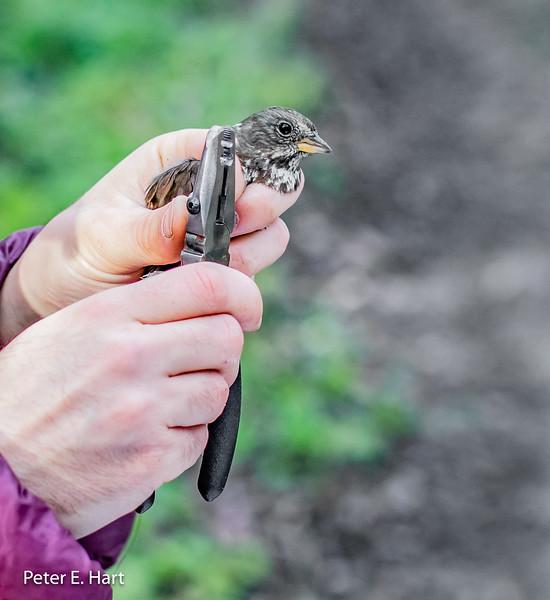Fox Sparrow (partially leucistic)