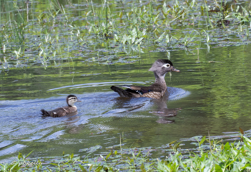 5-27-17.  Mama Wood Duck had 5 ducklings at this point.  4 of them headed for the weeds when they spotted me,  She had to go out and round this one up.