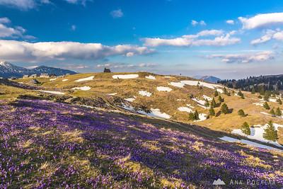 Crocuses on Velika planina - Apr 11-12, 2016