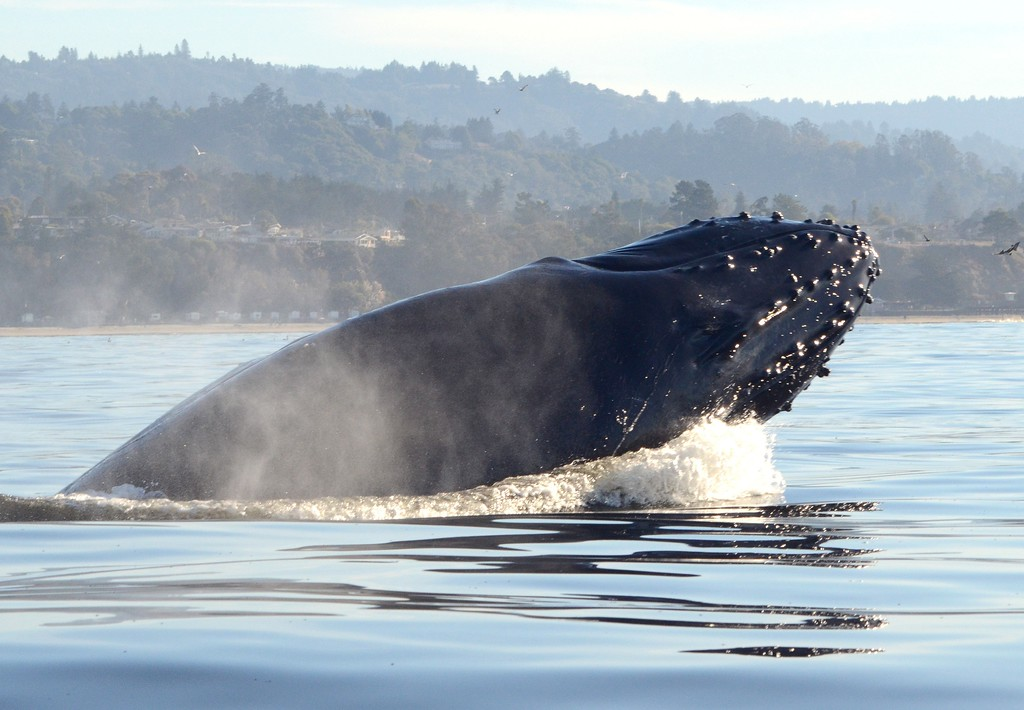 . A humpback breaches off Seacliff State Beach several weeks ago. (Photo courtesy of Giancarlo Thomae)