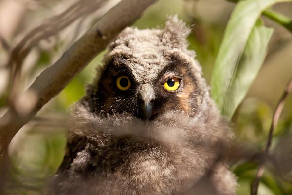 Long-eared Owl Asio otus