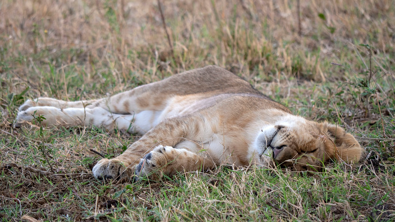 Tanzania-Serengeti-National-Park-Safari-Lion-09.jpg