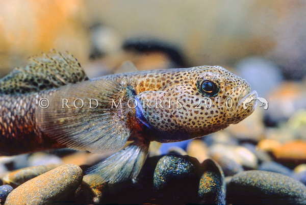 Freshwater Fish Photography