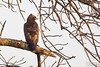 Walhberg's Eagle