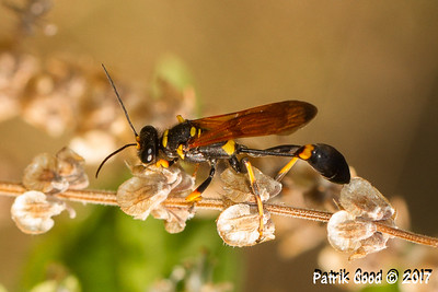 Vase-cell Mud-Dauber Wasp