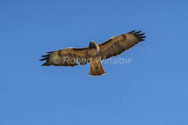 Red-tailed Hawk, Buteo jamaicensis, Flying, Durango, Colorado, USA, North America