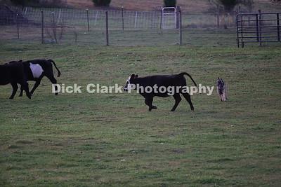 Sunday Advanced Cattle