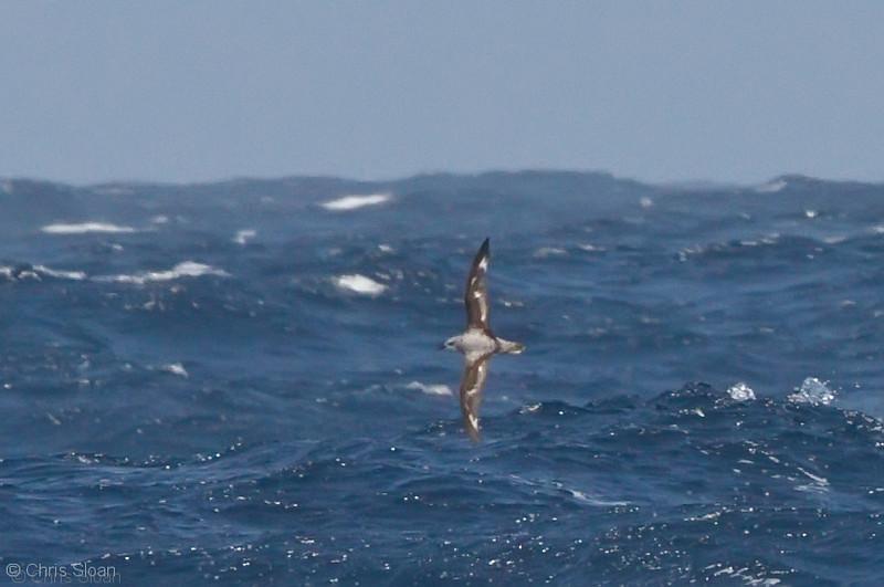 Cook's Petrel at deepwater pelagic off Santa Barbara, CA (05-01-2010) - 682-Edit.jpg