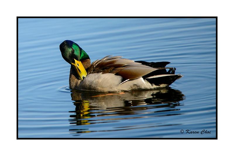 Duck 3 sm.jpg
