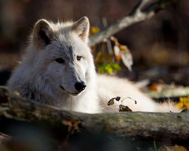 Lakota Wolf Preserve 2008