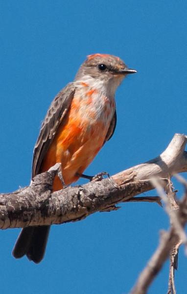 Vermilion Flycatcher (1st year male)