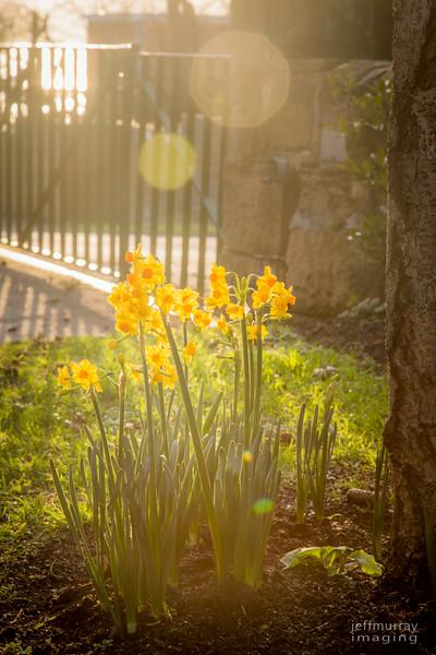 Daffodil light