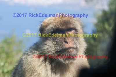 Barbary Macaques Monkees