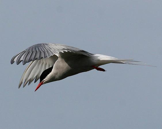 STERNIDAE Terns