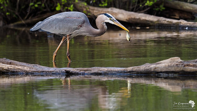 Meal Time for a great blue heron