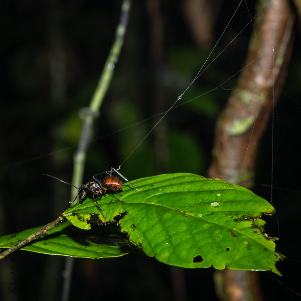 INSECT - jungle ant escaping web-1590.jpg