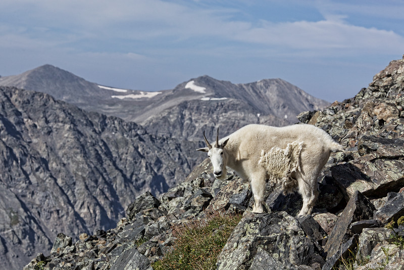 Mountain Goat  2015-08-23_RMJ_MG_0743.jpg