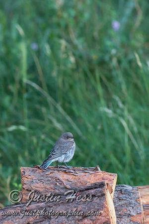 Bluebird Fledglings 07-18-2017