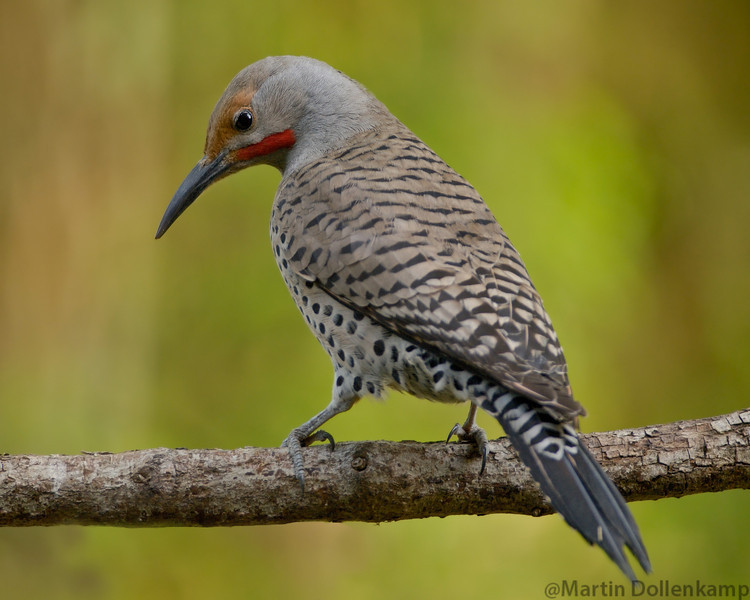 Northern Red Shafted Flicker, Vancouver Island.