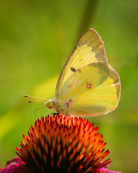 Clouded Sulphur on Coneflower