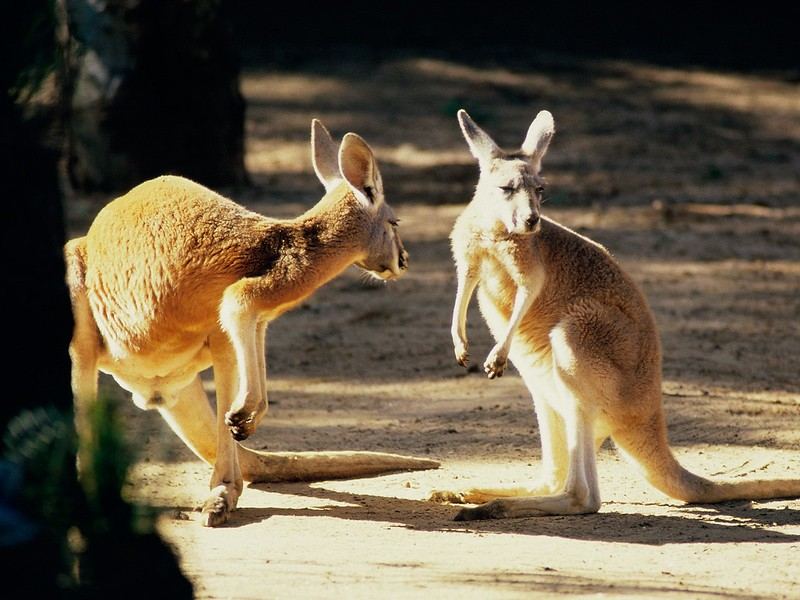 Kangaroo Conversation, Australia.jpg